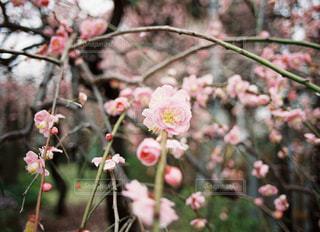木からぶら下がっているりんごの写真・画像素材[3018251]