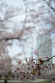 空,花,春,桜,屋外,東京,スカイツリー,樹木,入学式,草木,錦糸町,卒業式,さくら,ブロッサム,錦糸公園