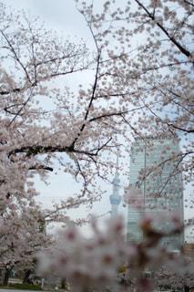 空,花,春,屋外,東京,スカイツリー,樹木,入学式,草木,桜の花,錦糸町,卒業式,さくら,ブロッサム,錦糸公園