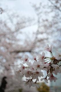 花,春,東京,入学式,草木,桜の花,錦糸町,卒業式,さくら,ブルーム,ブロッサム,錦糸公園