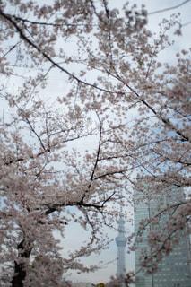 空,花,春,雪,屋外,東京,スカイツリー,樹木,入学式,草木,桜の花,錦糸町,卒業式,さくら,ブルーム,ブロッサム,錦糸公園