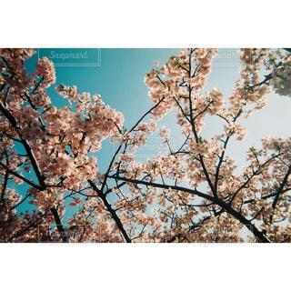 空,花,春,東京,鮮やか,樹木,フィルム,カラー,河津桜,草木,桜の花,写ルンです,フィルム写真,さくら,亀戸,ブロッサム,旧中川河津桜並木