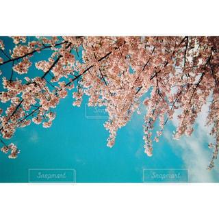 花,ピンク,青空,樹木,フィルム,入学式,河津桜,桜の花,写ルンです,フィルム写真,卒業式,さくら,亀戸,ブロッサム,旧中川