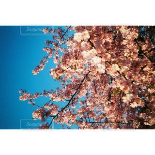 花,桜,ピンク,青空,樹木,フィルム,入学式,河津桜,草木,写ルンです,フィルム写真,卒業式,さくら,亀戸,ブロッサム,旧中川