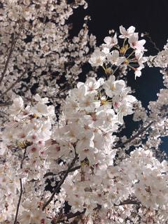花,春,東京,白,花見,夜桜,景色,スマホ,桜の花,錦糸町,さくら,ブルーム,ブロッサム,錦糸公園