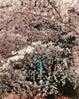 花,春,屋外,東京,ピンク,スカイツリー,夜桜,樹木,イルミネーション,錦糸町,さくら,ブロッサム,錦糸公園