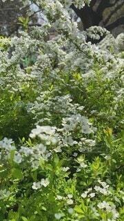 公園,花,春,屋外,景色,樹木,草木,ユキヤナギ,ガーデン,スピード,フローラ