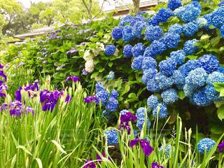 雨,緑,お花,紫陽花,菖蒲