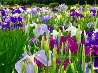 雨,緑,お花,菖蒲