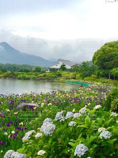 雨,屋外,緑,お花,紫陽花,菖蒲