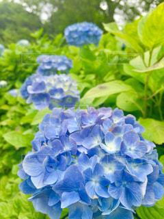 屋外,緑,お花,紫陽花