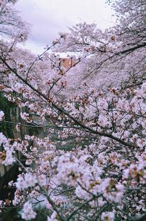 桜の写真・画像素材[1124368]