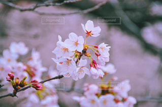 春,桜,東京都,神田川