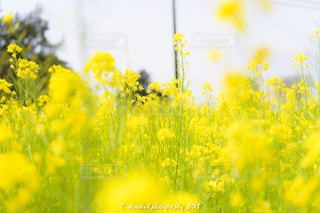 花,菜の花,菜の花畑