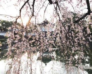 枝垂れ桜の写真・画像素材[1124064]