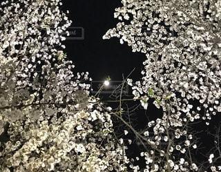 夜桜,東京都,満月,千鳥ヶ淵