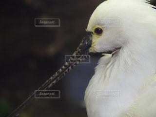 白い鳥の写真・画像素材[916943]