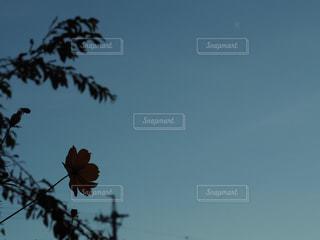 秋桜夜の写真・画像素材[1488323]