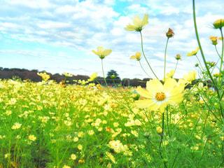 自然,花,春,秋,屋外,コスモス,黄色,イエロー,黄,草木,yellow