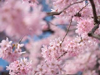 桜,宮城県,船岡城址公園