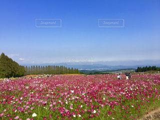 空,宮崎県,コスモス畑,眺め,生駒高原