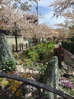 風景,桜,都内,花道,桜木花道,四月一日