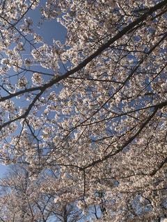 春,桜,青空,ときめきランド