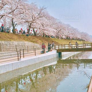 自然,空,花,春,桜,木,屋外,ピンク,川,景色,桜祭り