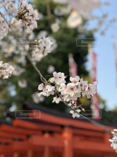 花,桜,花見,景色