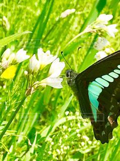 お花と青蝶々の写真・画像素材[1164349]
