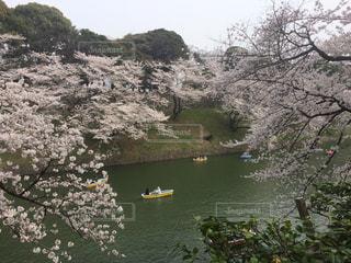 桜,屋外,東京,千鳥ヶ淵