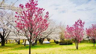 公園,桜,桜並木
