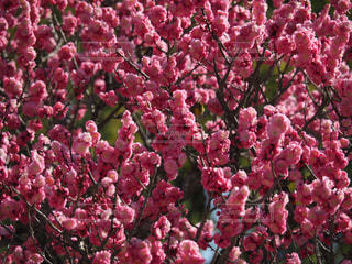 花,春,鳥,屋外,ピンク,赤,カラフル,梅,鮮やか,満開,メジロ,太宰府天満宮,福岡県,太宰府市