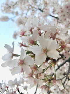 自然,風景,花,春,桜,屋外,光,草木