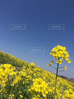 自然,風景,花,春,屋外,黄色,菜の花,光,草木