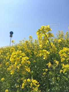 自然,風景,花,春,屋外,青空,黄色,菜の花,光,草木