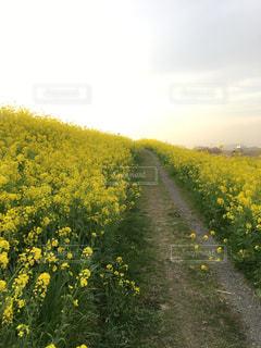 風景,花,春,屋外,緑,青空,黄色,菜の花,光,草木