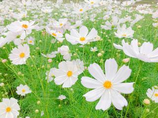 花,秋,コスモス,秋桜,思い出,大分,白いコスモス