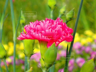 ピンク,カーネーション,キレイな花,長良公園