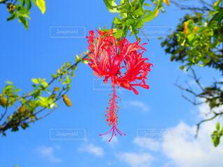 南国,ハイビスカス,沖縄,赤い花,キレイな花,フウリンブッソウゲ