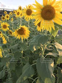 ひまわり,沖縄,黄色い花,向日葵,ヒマワリ,キレイな花