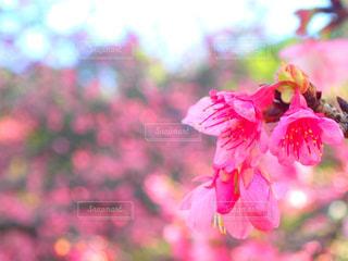自然,花,春,桜,木,ピンク,沖縄,花見,サクラ,ピンクの花,お花見,草木,2月,緋寒桜,ブロッサム,寒緋桜,桜まつり