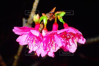 自然,花,春,桜,木,ピンク,沖縄,花見,夜桜,サクラ,ピンクの花,お花見,草木,沖縄の景色,緋寒桜,寒緋桜,桜まつり