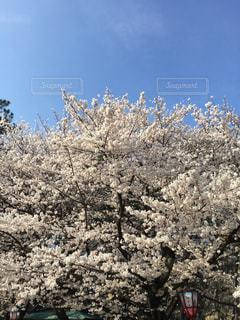 桜,屋外,青空,樹木,旅行,名古屋城