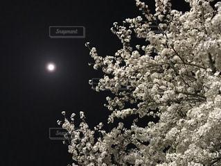 自然,空,桜,白,夜桜,景色,樹木,月