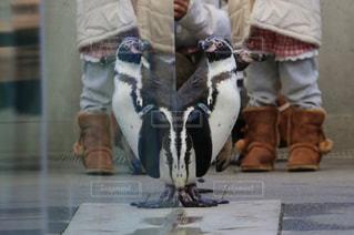 ペンギンハートの写真・画像素材[1127929]