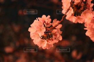 夜桜,王子動物園