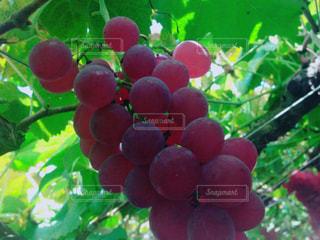 食べ物,フルーツ,果物,葡萄,ぶどう,葡萄狩り