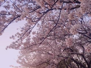 桜,屋外,花見,朝焼け,お花見,桜の花,さくら
