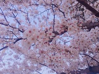 桜,屋外,花見,鮮やか,お花見,桜の花,さくら